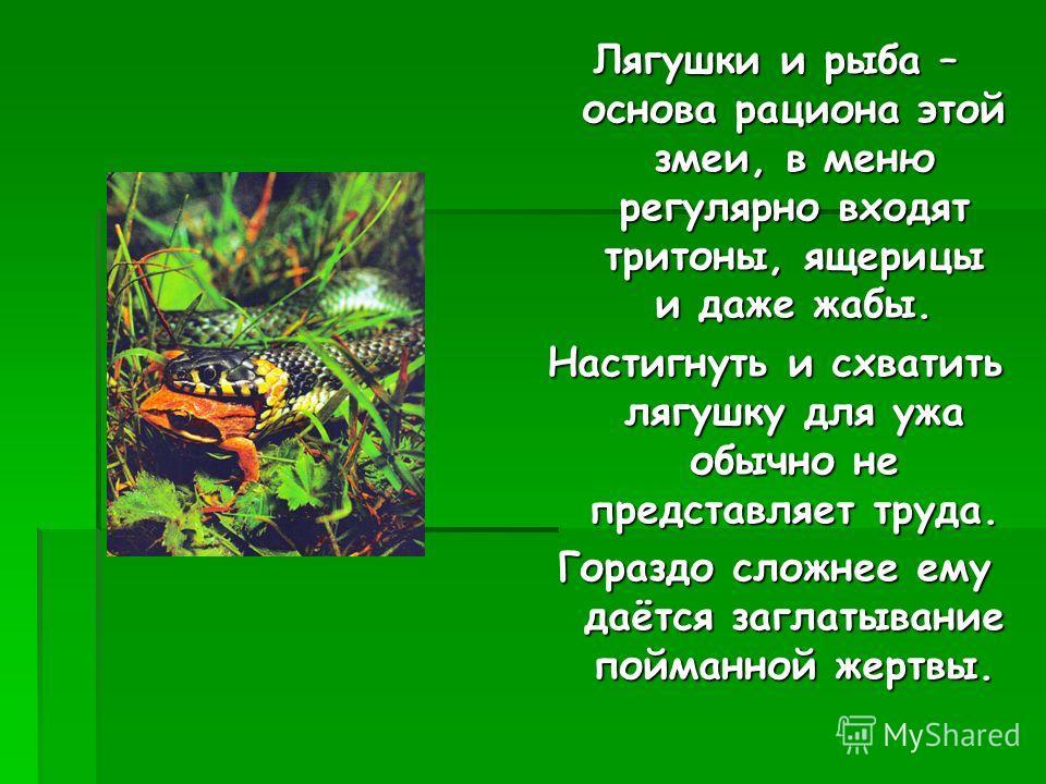 Лягушки и рыба – основа рациона этой змеи, в меню регулярно входят тритоны, ящерицы и даже жабы. Настигнуть и схватить лягушку для ужа обычно не представляет труда. Гораздо сложнее ему даётся заглатывание пойманной жертвы.