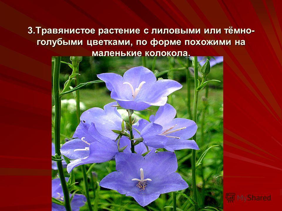 3.Травянистое растение с лиловыми или тёмно- голубыми цветками, по форме похожими на маленькие колокола.