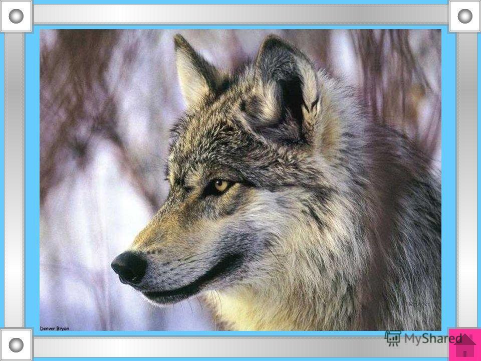30 Кто зимой холодной бродит в лесу злой, голодный?