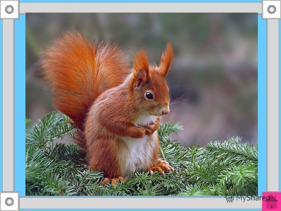 30 Сама легковата, а хвост богатый, с ветки на ветку скок-скок, орешек за орешком щёлк-щёлк.