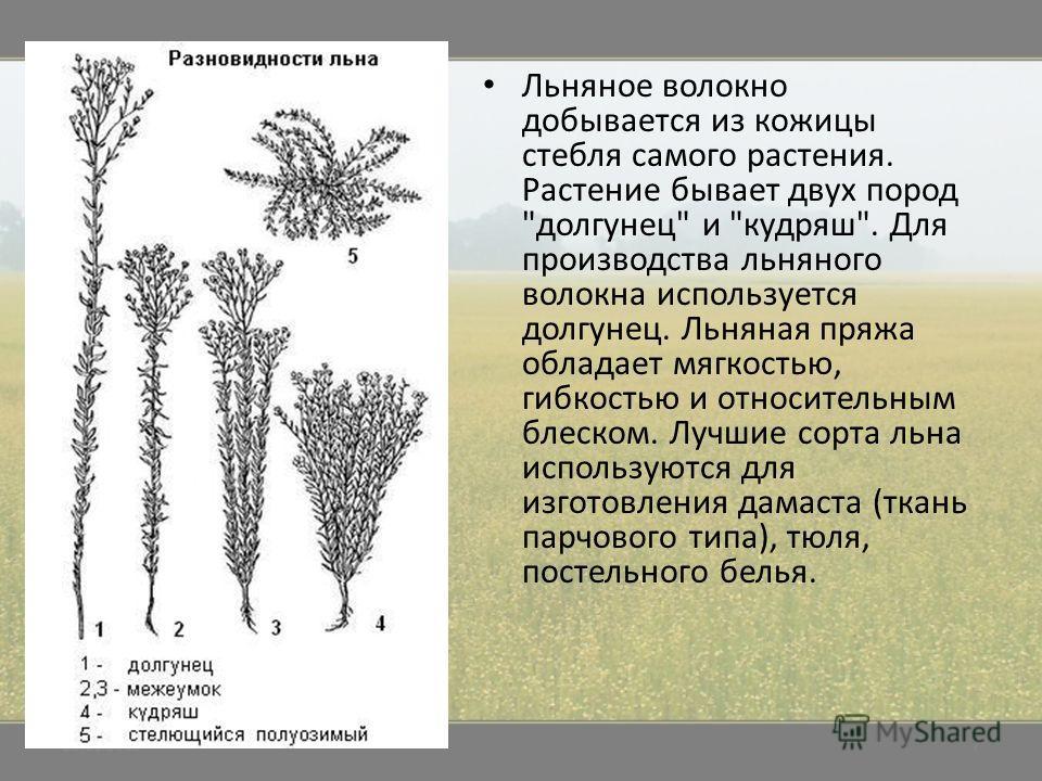 Льняное волокно добывается из кожицы стебля самого растения. Растение бывает двух пород