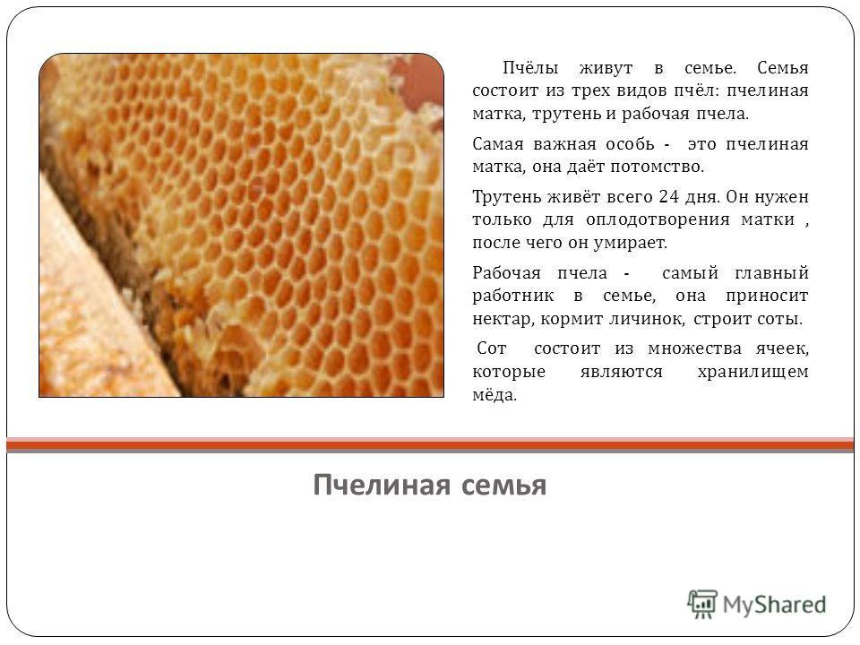 Пчелиная семья Пчёлы живут в семье. Семья состоит из трех видов пчёл : пчелиная матка, трутень и рабочая пчела. Самая важная особь - это пчелиная матка, она даёт потомство. Трутень живёт всего 24 дня. Он нужен только для оплодотворения матки, после ч