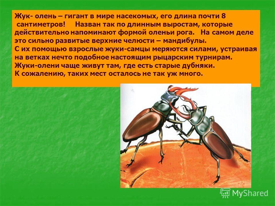Жук- олень – гигант в мире насекомых, его длина почти 8 сантиметров! Назван так по длинным выростам, которые действительно напоминают формой оленьи рога. На самом деле это сильно развитые верхние челюсти – мандибулы. С их помощью взрослые жуки-самцы