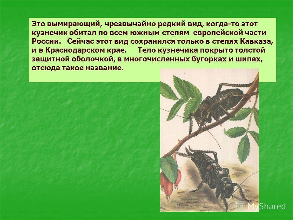 Это вымирающий, чрезвычайно редкий вид, когда-то этот кузнечик обитал по всем южным степям европейской части России. Сейчас этот вид сохранился только в степях Кавказа, и в Краснодарском крае. Тело кузнечика покрыто толстой защитной оболочкой, в мног