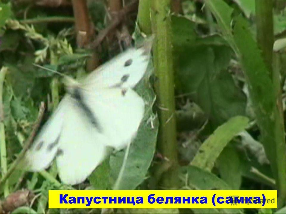 Капустница белянка (самка)