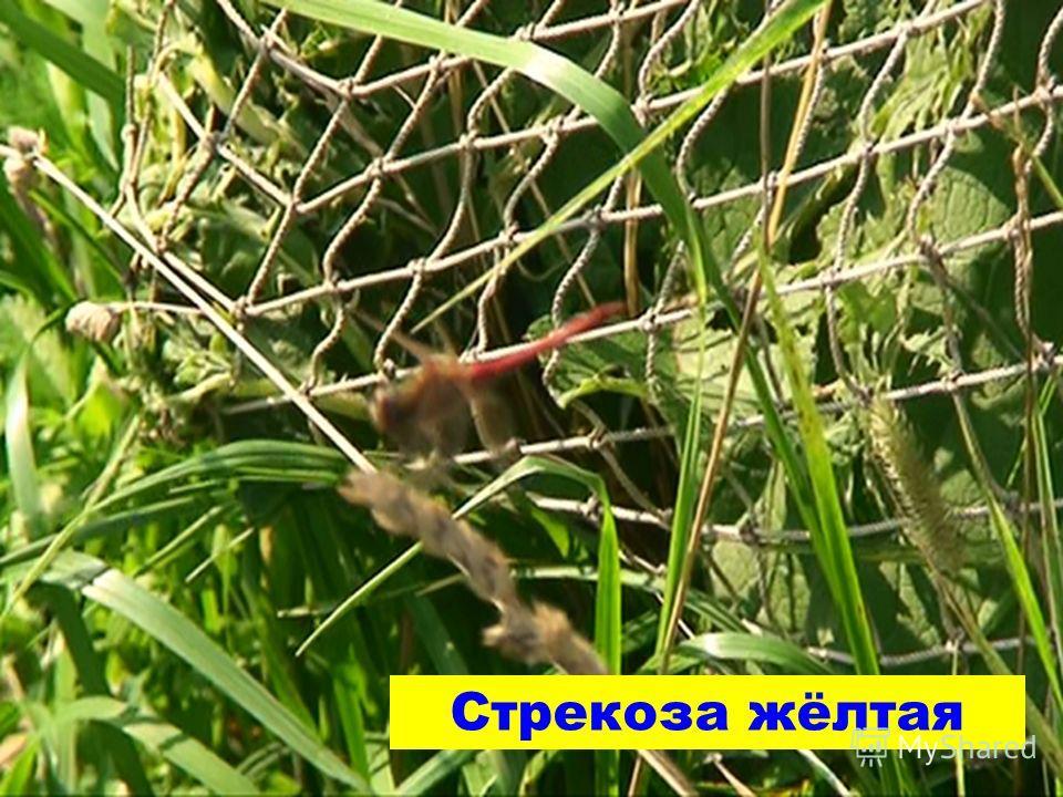 Стрекоза жёлтая