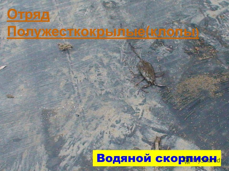 ОТРЯД ПОЛУЖЕСТКОКРЫЛЫЕ (КЛОПЫ) Водяной скорпион Отряд Полужесткокрылые(клопы )