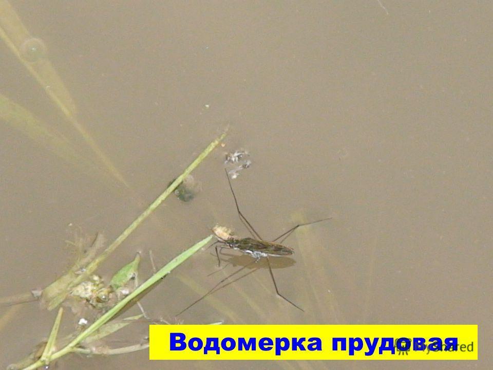 Водомерка прудовая
