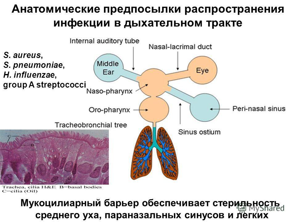 Анатомические предпосылки распространения инфекции в дыхательном тракте S. aureus, S. pneumoniae, H. influenzae, group A streptococci Мукоцилиарный барьер обеспечивает стерильность среднего уха, параназальных синусов и легких