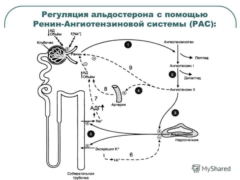 Регуляция альдостерона с помощью Ренин-Ангиотензиновой системы (РАС):