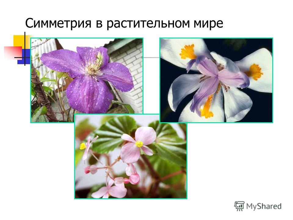 Симметрия в растительном мире
