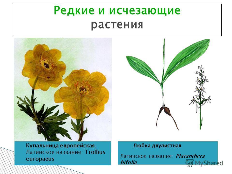 Редкие и исчезающие растения Купальница европейская. Латинское название: Trollius europaeus Любка двулистная Латинское название: Platanthera bifolia