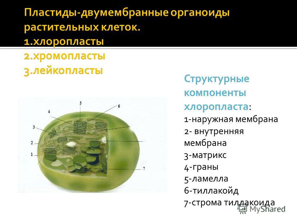 Структурные компоненты хлоропласта: 1-наружная мембрана 2- внутренняя мембрана 3-матрикс 4-граны 5-ламелла 6-тиллакойд 7-строма тиллакоида
