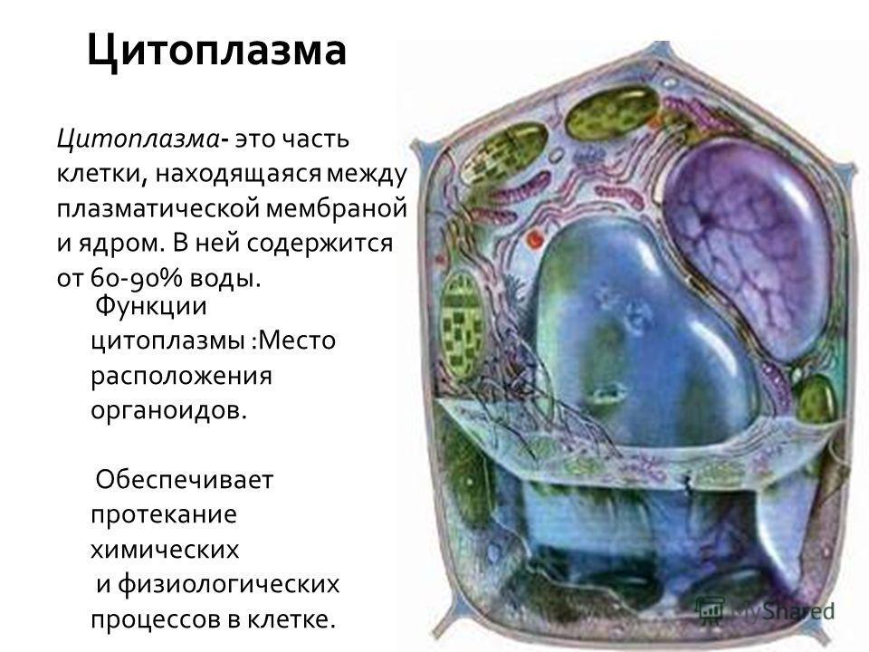Цитоплазма 4 Учитель биологии Сергиенко Н.В. Цитоплазма- это часть клетки, находящаяся между плазматической мембраной и ядром. В ней содержится от 60-90% воды. Функции цитоплазмы :Место расположения органоидов. Обеспечивает протекание химических и фи