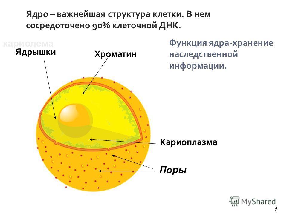 Ядро – важнейшая структура клетки. В нем сосредоточено 90% клеточной ДНК. Функция ядра-хранение наследственной информации. кариолема Кариоплазма Хроматин Ядрышки Поры 5 Учитель биологии Сергиенко Н.В.