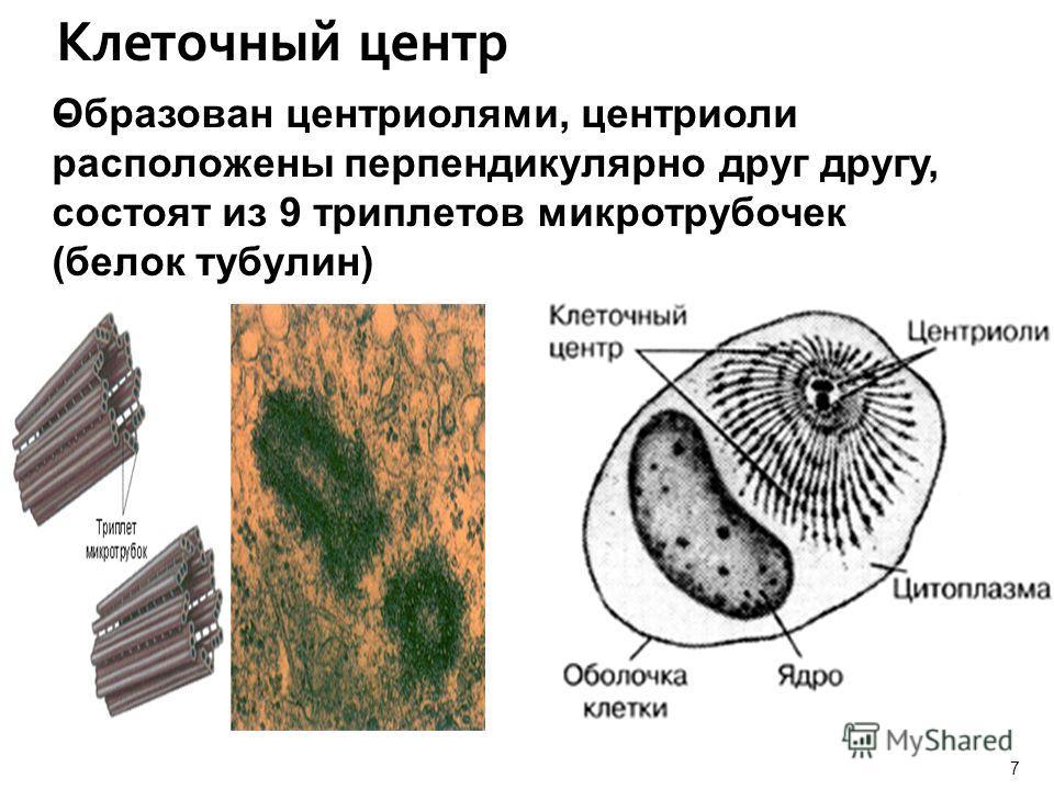 Клеточный центр - Образован центриолями, центриоли расположены перпендикулярно друг другу, состоят из 9 триплетов микротрубочек (белок тубулин) 7 Учитель биологии Сергиенко Н.В.