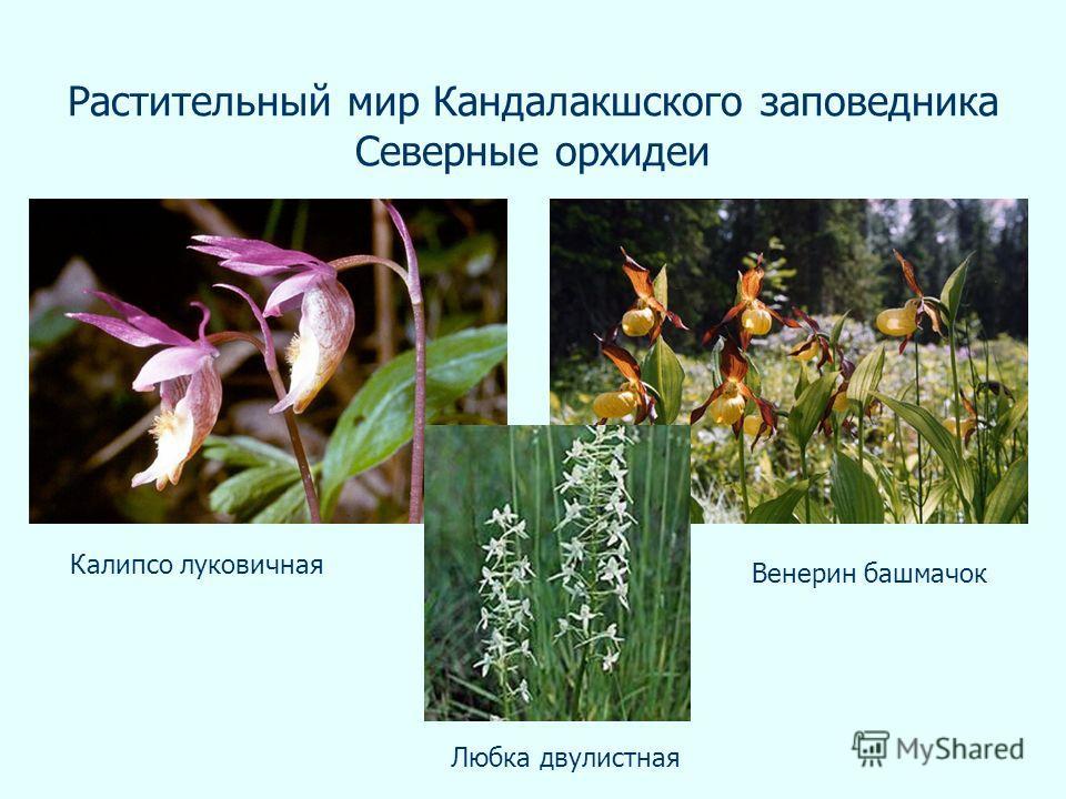 Растительный мир Кандалакшского заповедника Северные орхидеи Любка двулистная Калипсо луковичная Венерин башмачок
