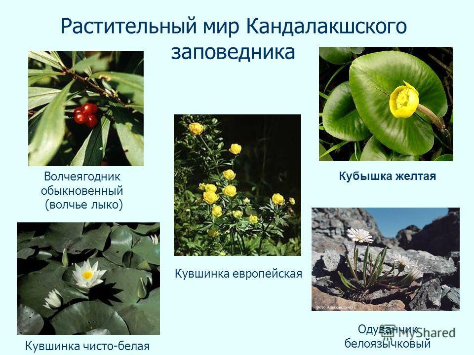 Растительный мир Кандалакшского заповедника Кувшинка европейская Кубышка желтая Кувшинка чисто-белая Волчеягодник обыкновенный (волчье лыко) Одуванчик белоязычковый