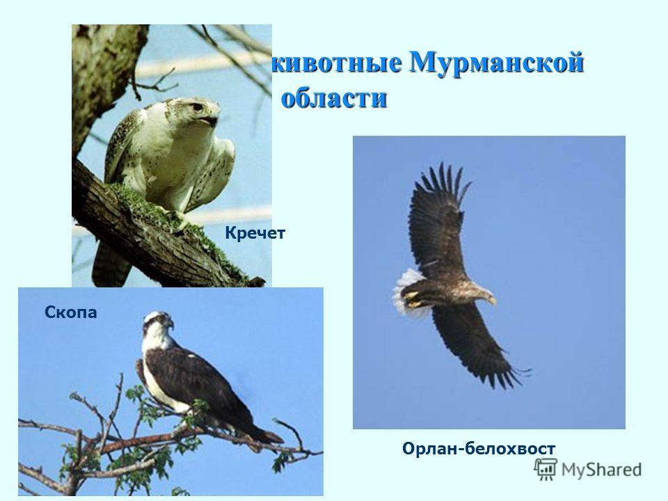 Охраняемые животные Мурманской области Кречет в полете Орлан-белохвост Кречет Скопа