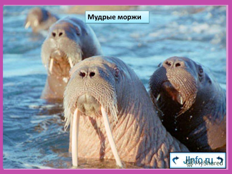 Мудрые моржи