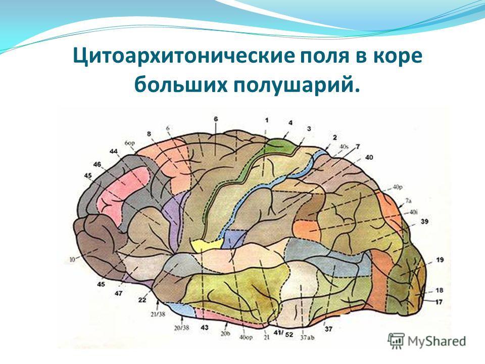 Цитоархитонические поля в коре больших полушарий.