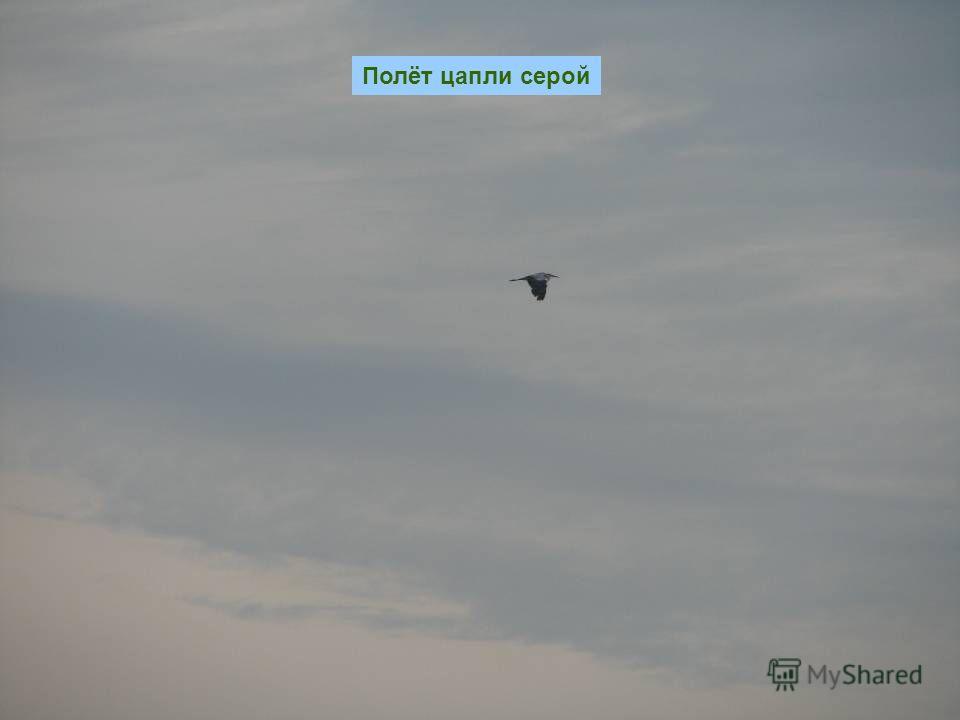 Полёт цапли серой