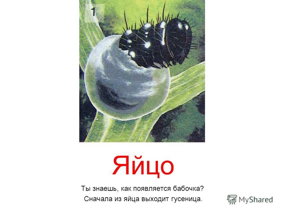 Яйцо Ты знаешь, как появляется бабочка? Сначала из яйца выходит гусеница.