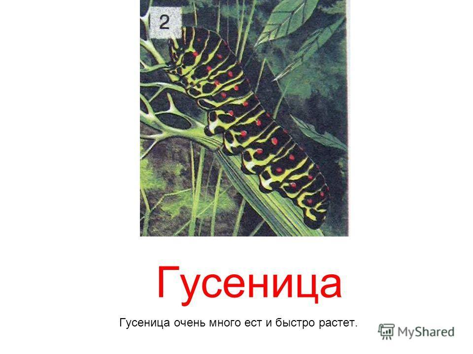Гусеница Гусеница очень много ест и быстро растет.