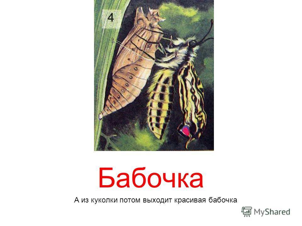 Бабочка А из куколки потом выходит красивая бабочка