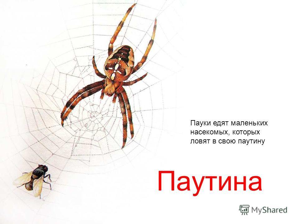 Паутина Пауки едят маленьких насекомых, которых ловят в свою паутину