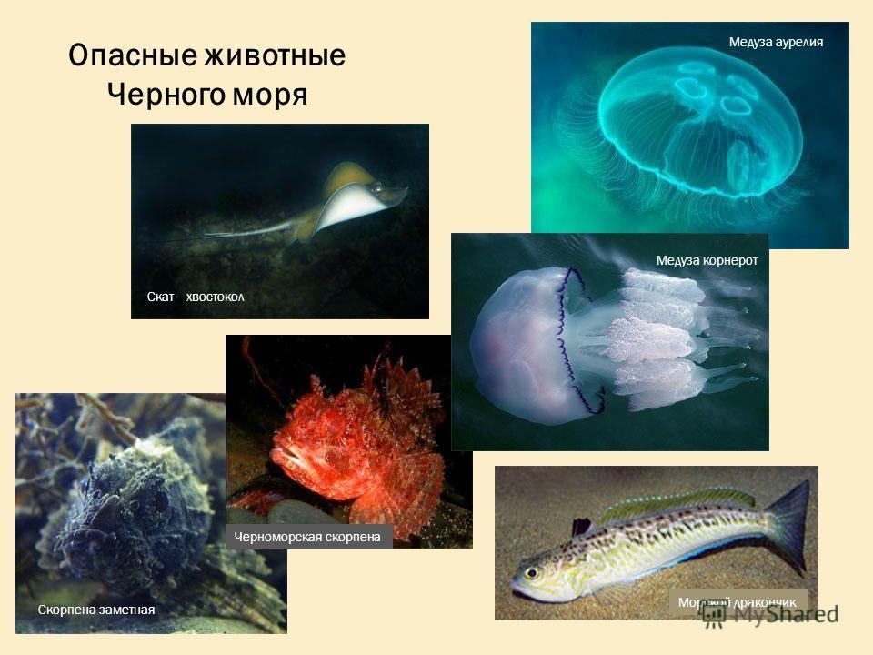 Скат - хвостокол Морской дракончик Скорпена заметная Медуза аурелия Медуза корнерот Черноморская скорпена Опасные животные Черного моря