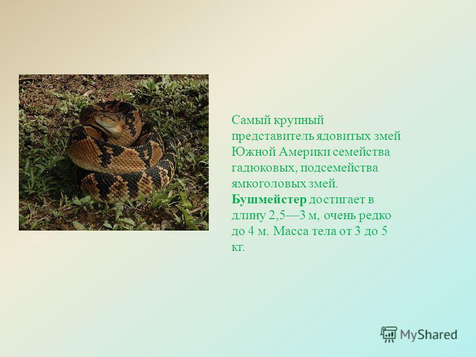 Самый крупный представитель ядовитых змей Южной Америки семейства гадюковых, подсемейства ямкоголовых змей. Бушмейстер достигает в длину 2,53 м, очень редко до 4 м. Масса тела от 3 до 5 кг.