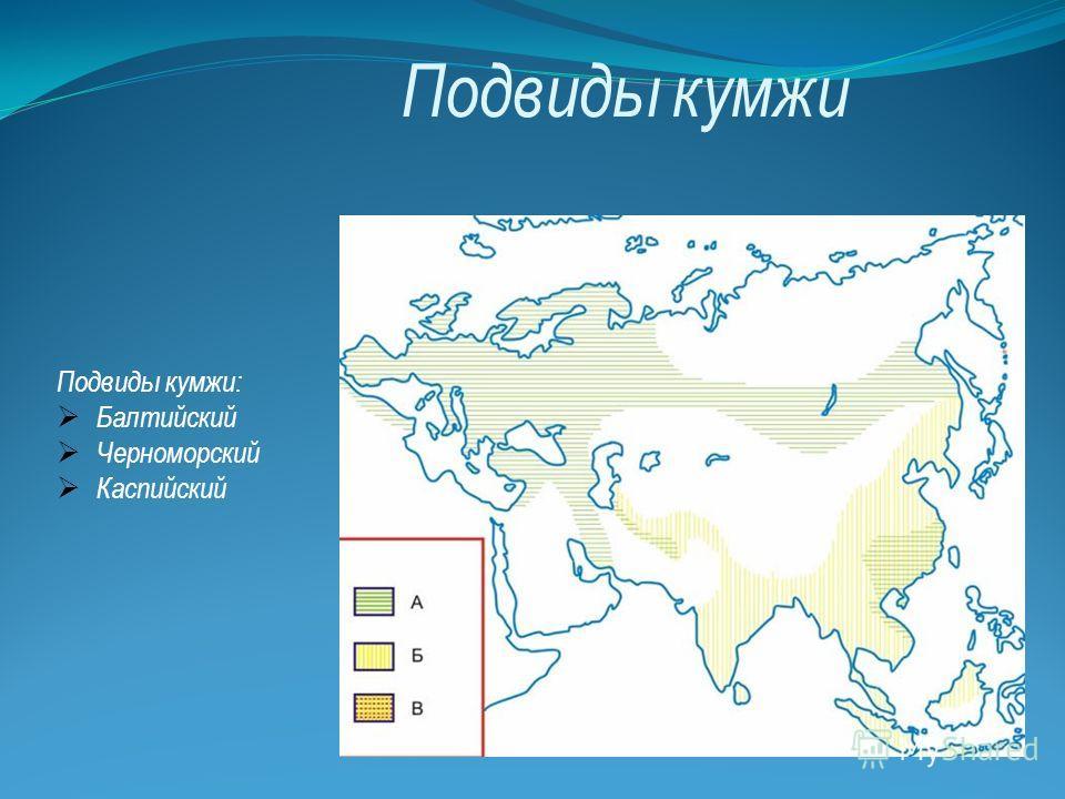 Подвиды кумжи Подвиды кумжи: Балтийский Черноморский Каспийский