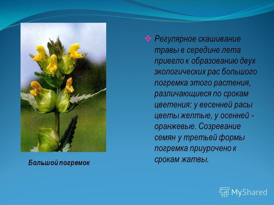 Регулярное скашивание травы в середине лета привело к образованию двух экологических рас большого погремка этого растения, различающиеся по срокам цветения: у весенней расы цветы желтые, у осенней - оранжевые. Созревание семян у третьей формы погремк