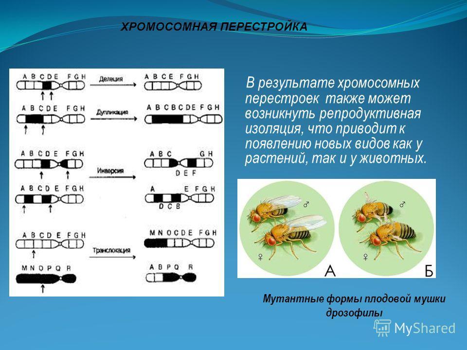 ХРОМОСОМНАЯ ПЕРЕСТРОЙКА В результате хромосомных перестроек также может возникнуть репродуктивная изоляция, что приводит к появлению новых видов как у растений, так и у животных. Мутантные формы плодовой мушки дрозофилы