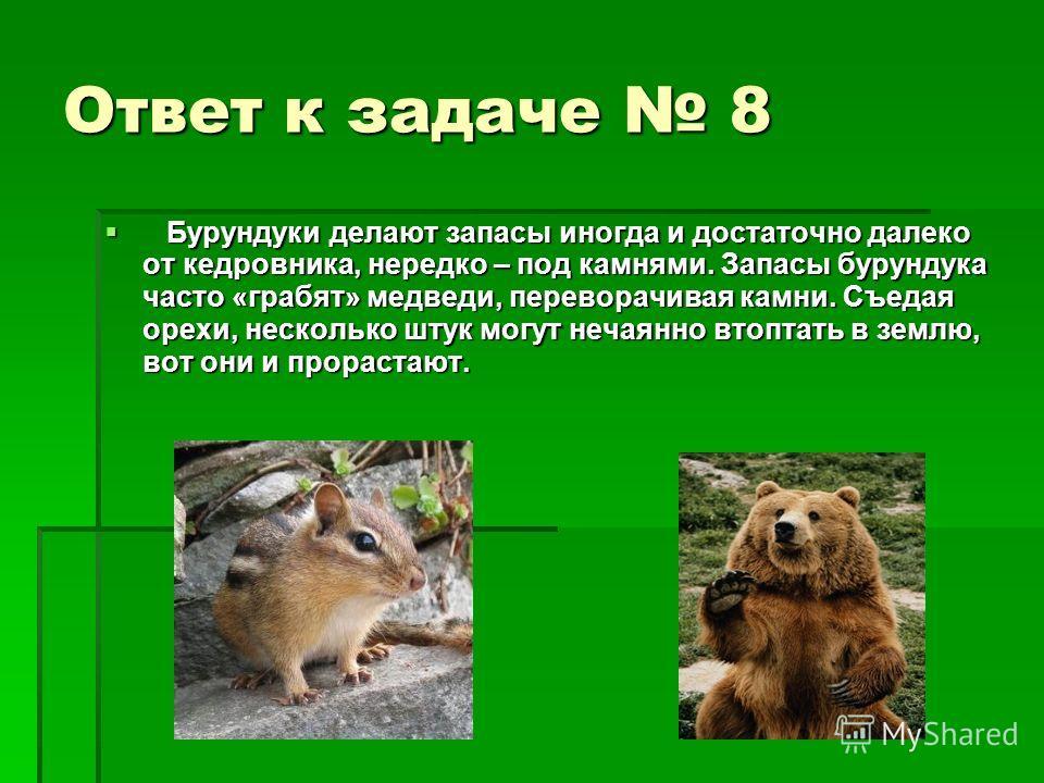 Ответ к задаче 8 Бурундуки делают запасы иногда и достаточно далеко от кедровника, нередко – под камнями. Запасы бурундука часто «грабят» медведи, переворачивая камни. Съедая орехи, несколько штук могут нечаянно втоптать в землю, вот они и прорастают