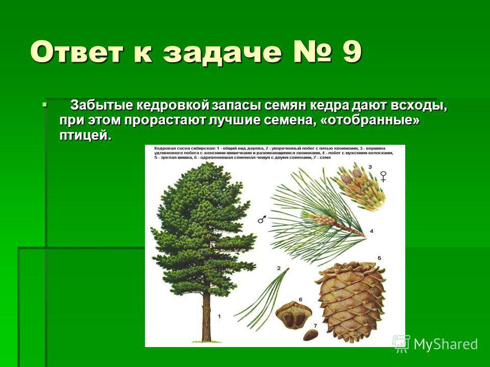 Ответ к задаче 9 Забытые кедровкой запасы семян кедра дают всходы, при этом прорастают лучшие семена, «отобранные» птицей. Забытые кедровкой запасы семян кедра дают всходы, при этом прорастают лучшие семена, «отобранные» птицей.