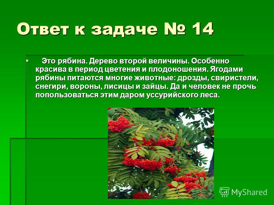 Ответ к задаче 14 Это рябина. Дерево второй величины. Особенно красива в период цветения и плодоношения. Ягодами рябины питаются многие животные: дрозды, свиристели, снегири, вороны, лисицы и зайцы. Да и человек не прочь попользоваться этим даром усс