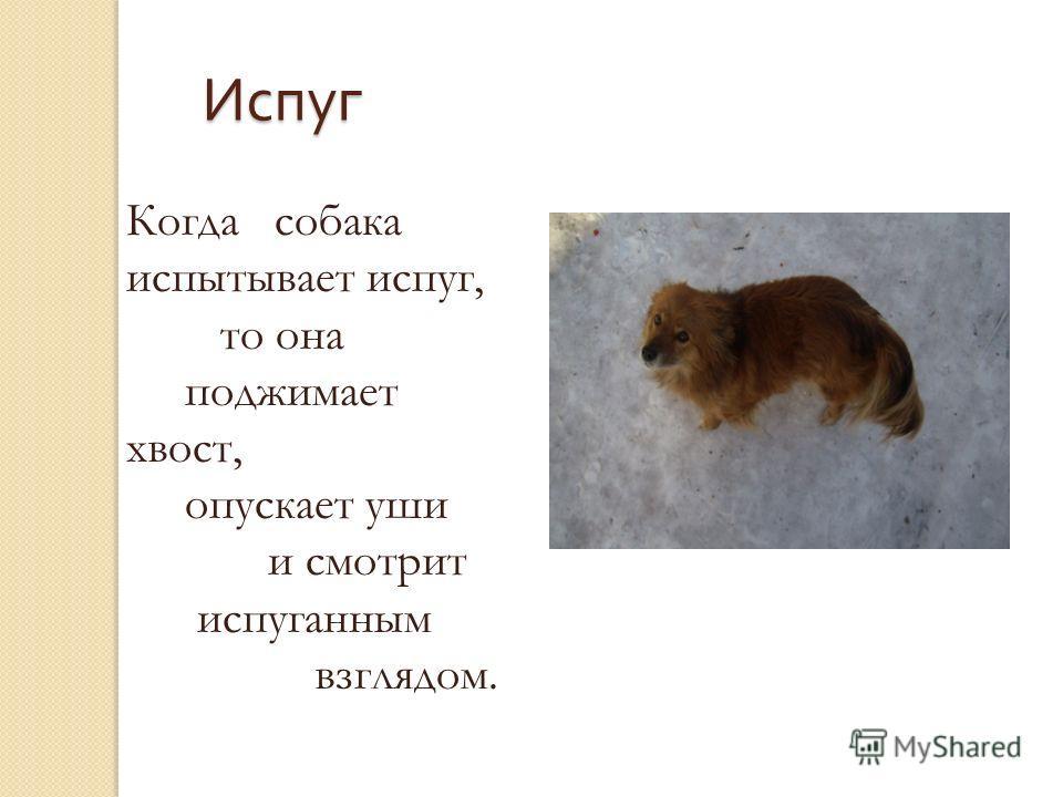 Испуг Когда собака испытывает испуг, то она поджимает хвост, опускает уши и смотрит испуганным взглядом.