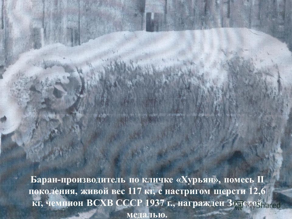 Баран-производитель по кличке «Хурьян», помесь II поколения, живой вес 117 кг, с настригом шерсти 12,6 кг, чемпион ВСХВ СССР 1937 г., награжден Золотой медалью.