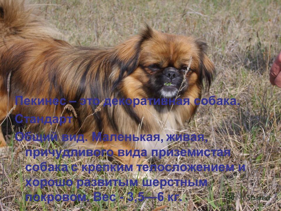 Пекинес – это декоративная собака. Стандарт Общий вид. Маленькая, живая, причудливого вида приземистая собака с крепким телосложением и хорошо развитым шерстным покровом. Вес - 3,56 кг.