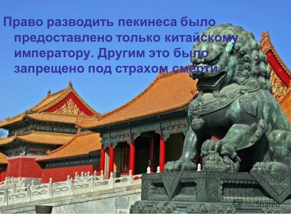 Право разводить пекинеса было предоставлено только китайскому императору. Другим это было запрещено под страхом смерти.