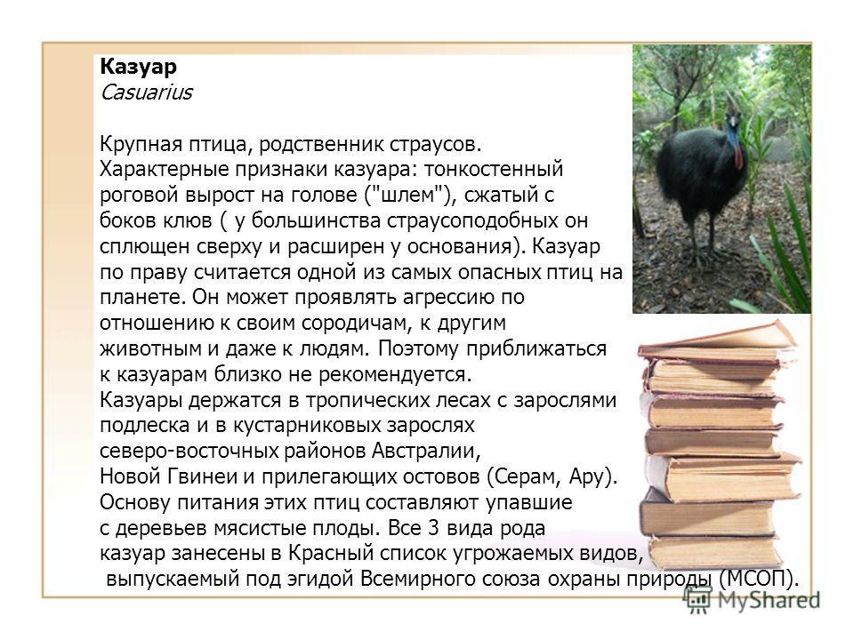 Казуар Casuarius Крупная птица, родственник страусов. Характерные признаки казуара: тонкостенный роговой вырост на голове (