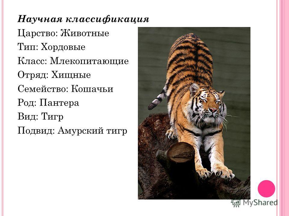 Научная классификация Царство: Животные Тип: Хордовые Класс: Млекопитающие Отряд: Хищные Семейство: Кошачьи Род: Пантера Вид: Тигр Подвид: Амурский тигр