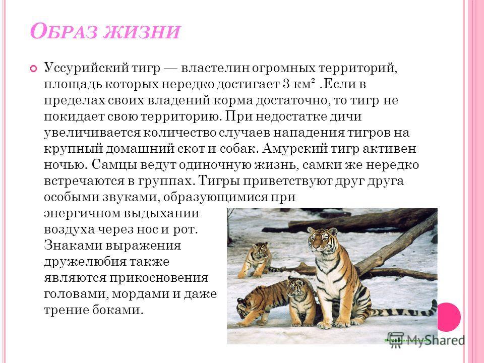 О БРАЗ ЖИЗНИ Уссурийский тигр властелин огромных территорий, площадь которых нередко достигает 3 км².Если в пределах своих владений корма достаточно, то тигр не покидает свою территорию. При недостатке дичи увеличивается количество случаев нападения