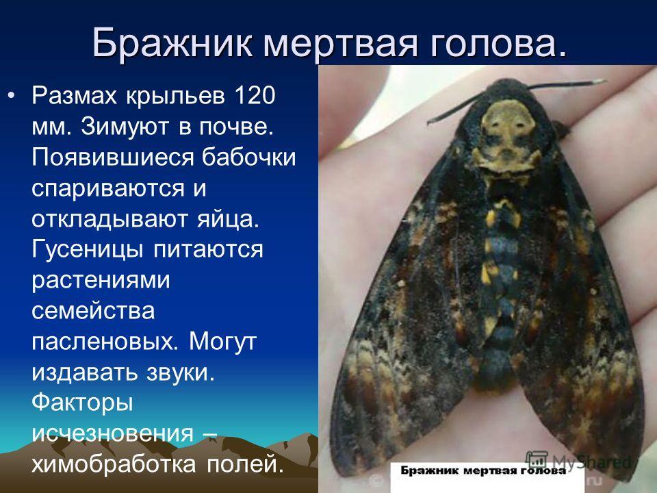 Бражник Олеандровый. Размах крыльев 100- 110 мм. Первые бабочки появляются в мае-июне. После спаривания из яиц отрождаются гусеницы. В августе появляются бабочки. Основной корм – олеандр. Факторы исчезновения – зимние холода, ядохимикаты, яркое элект