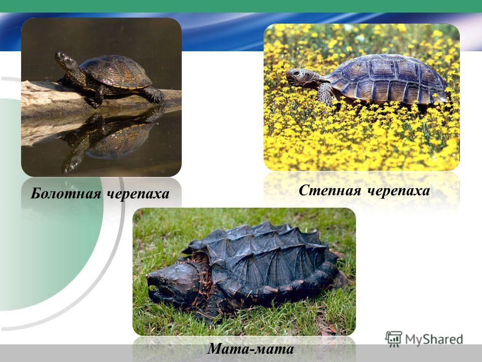 Степная черепаха Болотная черепаха Мата-мата