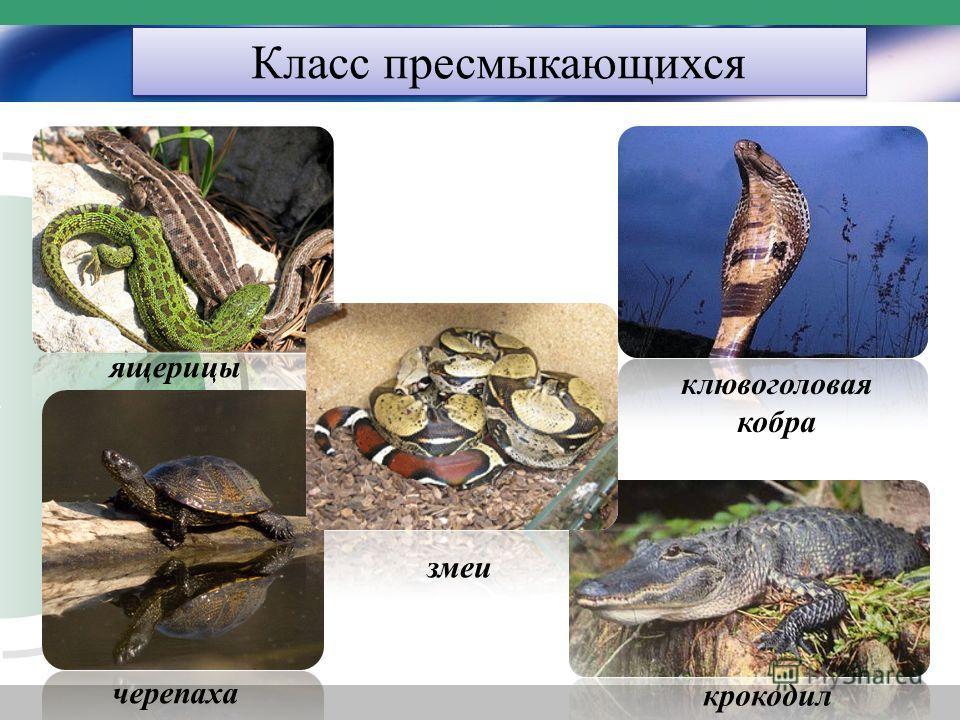 Класс пресмыкающихся ящерицы черепаха змеи клювоголовая кобра крокодил
