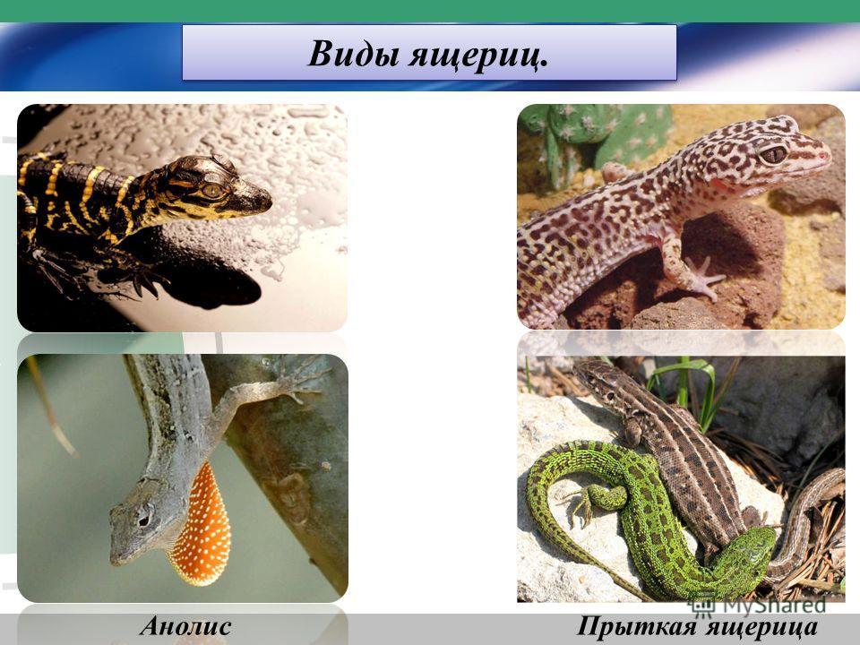 Виды ящериц. АнолисПрыткая ящерица