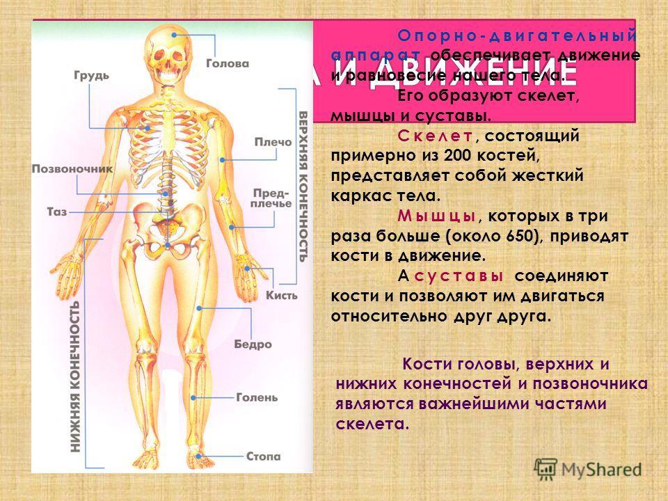 Опорно-двигательный аппарат обеспечивает движение и равновесие нашего тела. Его образуют скелет, мышцы и суставы. Скелет, состоящий примерно из 200 костей, представляет собой жесткий каркас тела. Мышцы, которых в три раза больше (около 650), приводят
